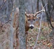 Foto der männlichen Rotwild, die von hinten den Baum schauen Lizenzfreie Stockfotografie