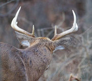 Foto der männlichen Rotwild mit den Hörnern von der Rückseite Lizenzfreie Stockfotografie
