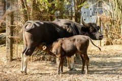 Foto der schwarzen Kuh und der Jungbulle lizenzfreie stockbilder