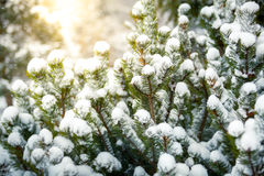 Foto der Tanne bedeckt im Schnee gegen glänzende Sonne Stockfotografie