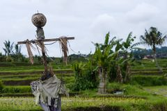 Foto der Vogelscheuche auf dem Gebiet in Indonesien stockfotos