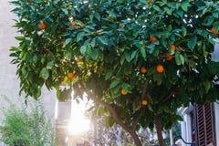 Foto des Baums mit Mandarinen Stockfoto