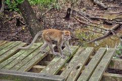 Foto des einzelnen Affen Lizenzfreies Stockbild