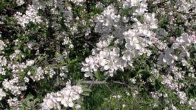 Foto des Frühlingsgartens Frühling Apfelbäume in der Blüte stock video footage