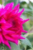 Foto des Gartens blüht Pfingstrose Lizenzfreie Stockfotos