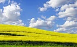 Foto des gelben rapefield im Frühjahr Stockfoto