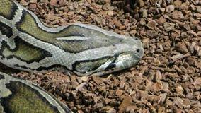 Foto des Kopfes der retikulierten Pythonschlange lizenzfreie stockbilder