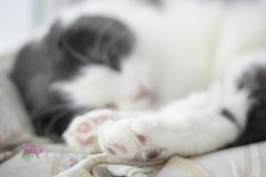 Foto des netten Rosas mit einem ` s Katze des schwarzen Flecks Fuß, selektiver Fokus Lizenzfreies Stockfoto