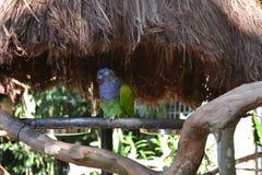 Foto des Papageien gerettet aus Missbrauch Stockfotos