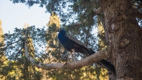 Foto des Pfaus sitzend auf dem Baum Stockbilder