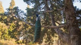Foto des Pfaus sitzend auf dem Baum Stockfotografie