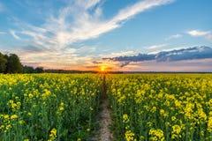 Foto des Rapssamenfeldes mit Sonnenuntergang und drastischem cloudscape Stockfoto