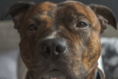 Foto des schwachen Kontrastes des Staffordshire-Bullterrierkopfes mit traurigem ey Stockfotos