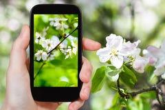 Foto des Waldes der Kirschblüten im Frühjahr Lizenzfreies Stockfoto