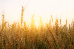 Foto des Weizenfeldes bei Sonnenuntergang Stockfoto