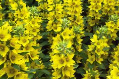 A foto descreve muitas flores amarelas Imagem de Stock Royalty Free