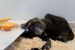 Macaco triste Fotos de Stock