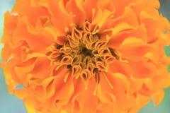 A foto descreve um fundo alaranjado doce da flor do sumário das pétalas da flor de Tagetes do cravo-de-defunto imagens de stock royalty free
