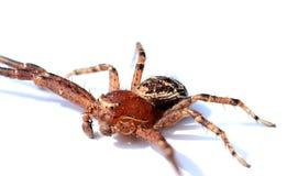 Foto detalhada de uma aranha do caranguejo em um contexto branco imagem de stock