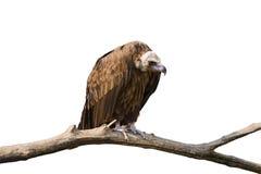 Foto detalhada do abutre que senta-se em uma cadela fotografia de stock royalty free