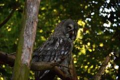 Foto detalhada do ulula do Surnia - coruja Fotografia de Stock Royalty Free