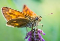 Foto dettagliata del primo piano di una farfalla arancione su un purp immagini stock