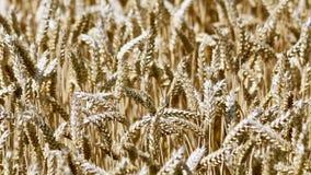 Foto dettagliata di grano maturo Fotografia Stock Libera da Diritti