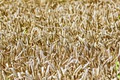 Foto dettagliata di grano maturo Fotografie Stock Libere da Diritti