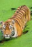 Altaica del Tigri della panthera della tigre Immagini Stock