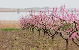 Foto di bei alberi di fioritura con piccolo flusso rosa meraviglioso Immagini Stock