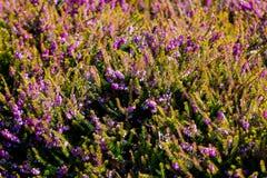 Foto di bei fiori di fioritura porpora di Erica Carnea con il wo Fotografie Stock