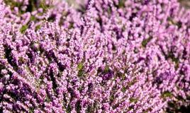 Foto di bei fiori di fioritura porpora di Erica Carnea con il wo Fotografia Stock