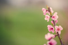 Foto di bello albero di fioritura con piccolo flowe rosa meraviglioso Fotografia Stock Libera da Diritti
