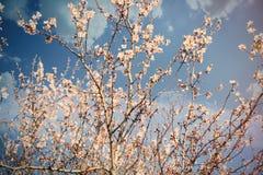 Foto di bello albero di fioritura con piccolo flowe rosa meraviglioso Immagine Stock Libera da Diritti