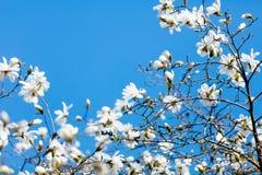 Foto di bello albero di fioritura di Myrtaseae Immagini Stock Libere da Diritti