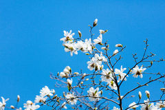 Foto di bello albero di fioritura di Myrtaseae Immagine Stock