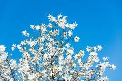 Foto di bello albero di fioritura di Myrtaseae Immagini Stock