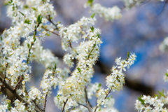 Foto di bello albero di fioritura di Myrtaseae Fotografia Stock Libera da Diritti