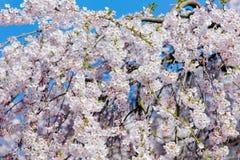 Foto di bello albero di fioritura sulla chiara parte posteriore meravigliosa del cielo Fotografia Stock Libera da Diritti