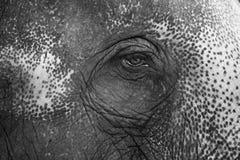 Foto di Black&White della sensibilità dell'occhio dell'elefante Fotografia Stock Libera da Diritti