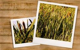 Foto di cattail immagini stock