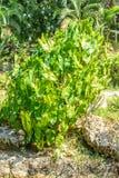Foto di colocasia nel giardino immagine stock libera da diritti