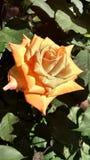 Foto di HD di una rosa arancio in un giardino urbano Fotografie Stock Libere da Diritti