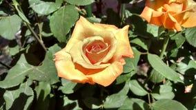 Foto di HD di una rosa arancio in un giardino urbano Immagini Stock