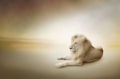 Foto di lusso del leone bianco, il re degli animali Fotografie Stock