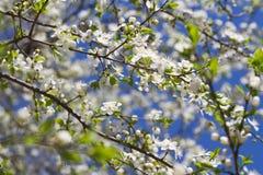 Foto di macro del fiore di ciliegia Fotografie Stock Libere da Diritti