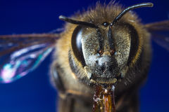 Foto di macro della puntura della vespa Fotografie Stock Libere da Diritti