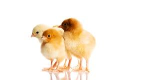 Foto di piccoli polli svegli Fotografia Stock Libera da Diritti
