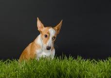 Foto di piccolo cane arancio su fondo grigio Immagini Stock Libere da Diritti