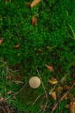 Foto di piccolo fungo nella foresta su muschio verde fotografie stock libere da diritti